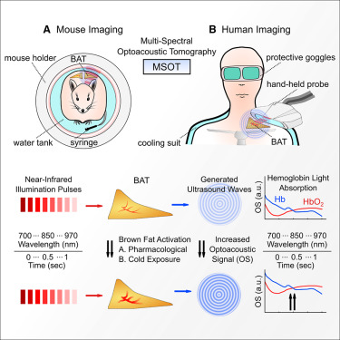 Non-invasive Measurement of Brown Fat Metabolism Based on
