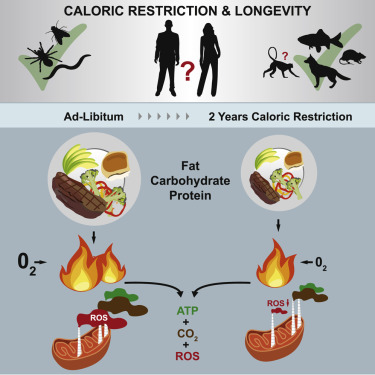 Metabolic Slowing and Reduced Oxidative Damage with