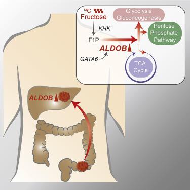Aldolase B Mediated Fructose Metabolism Drives Metabolic Reprogramming Of Colon Cancer Liver Metastasis Sciencedirect
