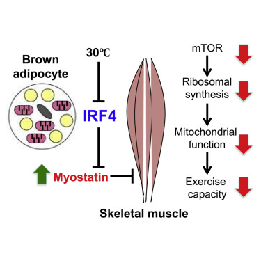 1 s2.0 S1550413118304479 fx1 brown adipose tissue controls skeletal muscle function via the