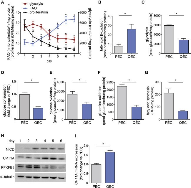 quiescent endothelial cells upregulate fatty acid β oxidation for
