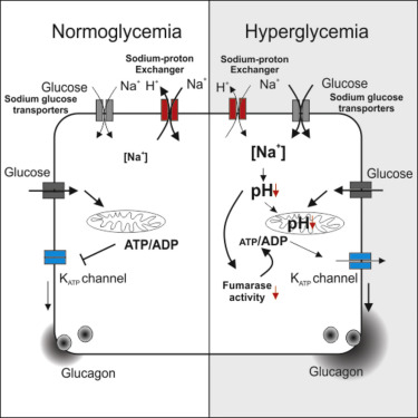 Dysregulation of Glucagon Secretion by Hyperglycemia-Induced
