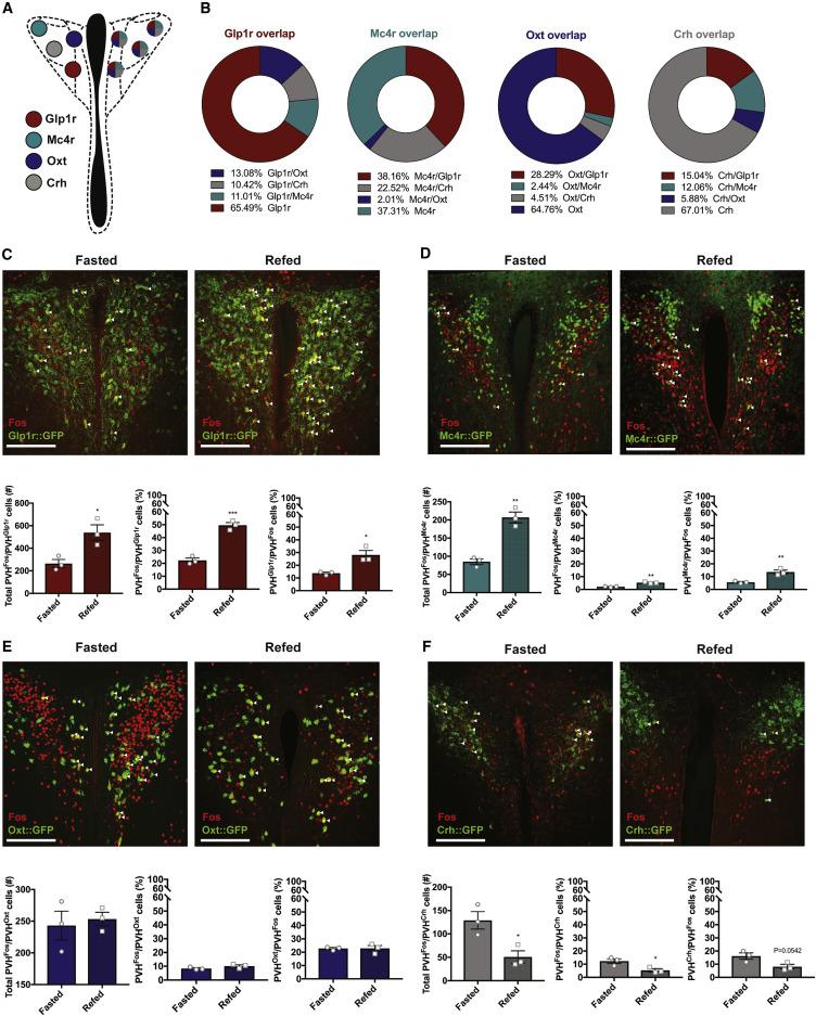 Defined Paraventricular Hypothalamic Populations Exhibit