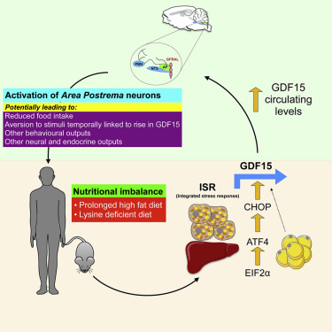 GDF15 Provides an Endocrine Signal of Nutritional Stress in