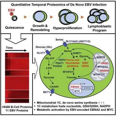 Epstein-Barr-Virus-Induced One-Carbon Metabolism Drives B