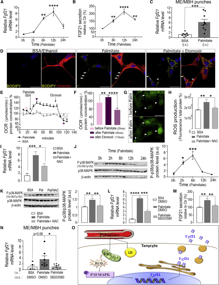 Tanycytes Regulate Lipid Homeostasis by Sensing Free Fatty