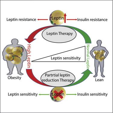 Higher fat diets can help correct leptin dysregulation