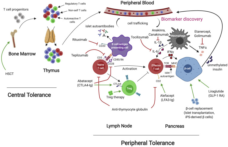 New Frontiers In The Treatment Of Type 1 Diabetes Sciencedirect