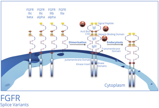 Fgfr Signaling As A Target For Lung Cancer Therapy