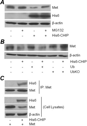 the c terminus of hsp70 interacting protein promotes met receptor