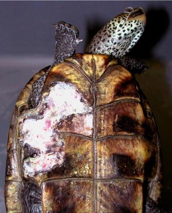 Dermatology in Reptiles - ScienceDirect