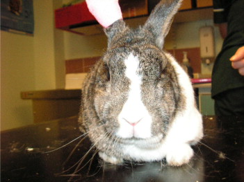 Apocrine Gland Hyperplasia in an 11-year-old Rabbit