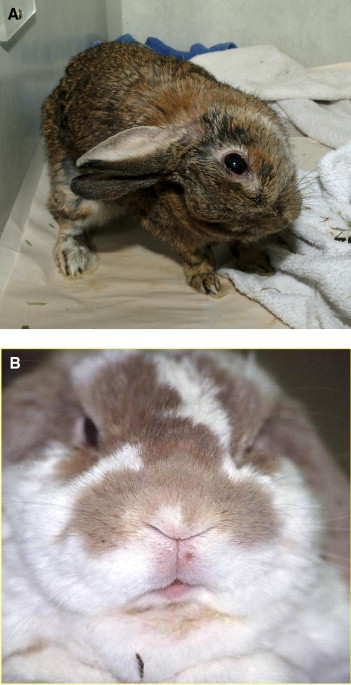 Textbook Of Rabbit Medicine Pdf