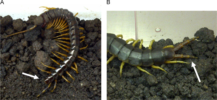 Centipede Care and Husbandry - ScienceDirect