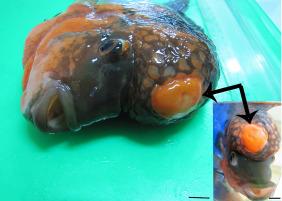 Fibromyxoma in a flower horn fish (hybrid cichlid) - ScienceDirect