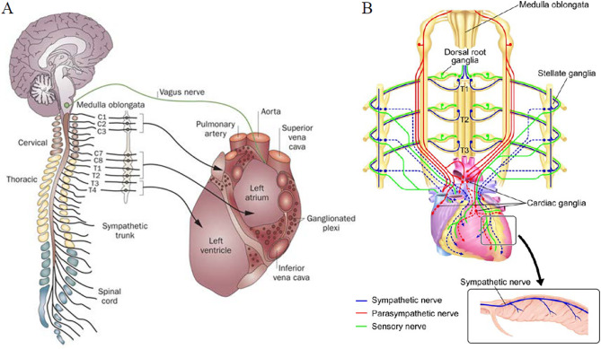 Heart Nervous System Diagram - Wiring Circuit •
