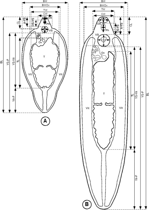 Distribution of fasciola hepatica and f gigantica in the endemic standardised measurements applied to gravid fasciola hepatica like and f gigantica like adult specimens ccuart Gallery