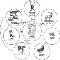 Giardiasis species. Gyomor-bélhurut – Wikipédia