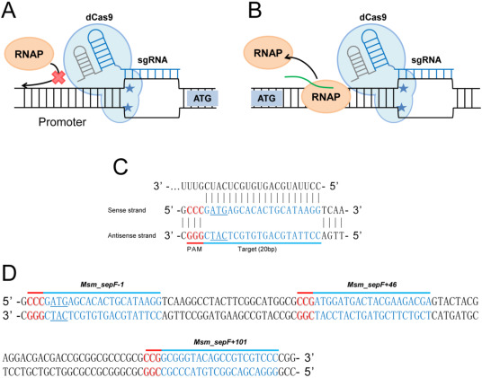 Application of the CRISPRi system to repress sepF expression in