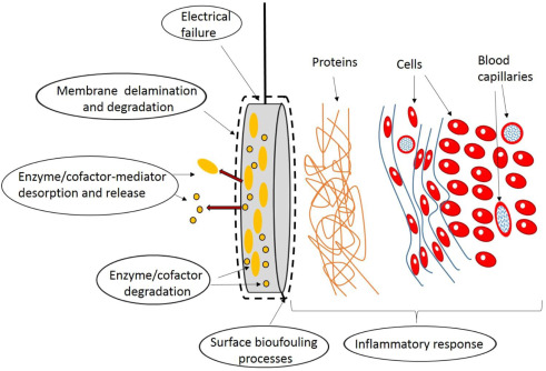 challenges for successful implantation of biofuel cells sciencedirectdownload full size image