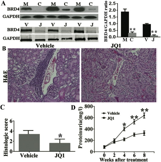 Therapeutic targeting of BET protein BRD4 delays murine
