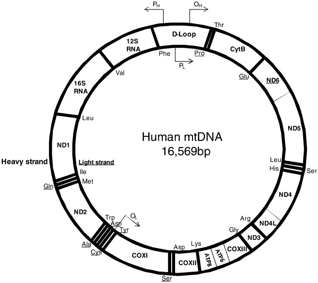 Stressed Out Mitochondria The Role Of Mitochondria In Ageing And