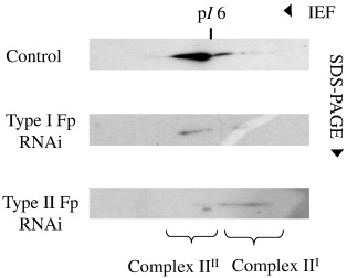 Type II Fp of human mitochondrial respiratory complex II and
