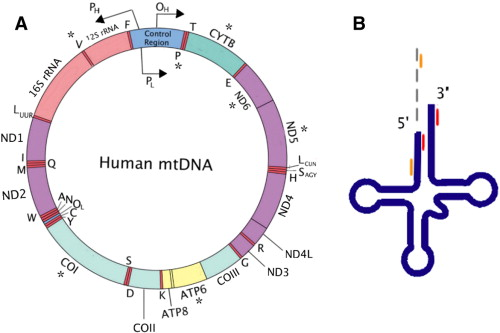 Mitochondrial energy failure in hsd10 disease is due to defective supplementary material fig 1 diagram of mitochondrial mrnas and trnas ccuart Choice Image