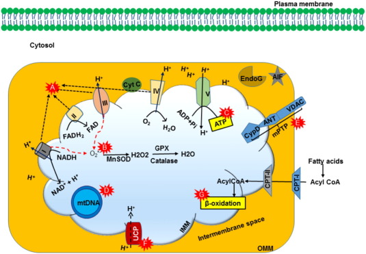 Measurement of pH changes (Extracellular) in Mitochondria