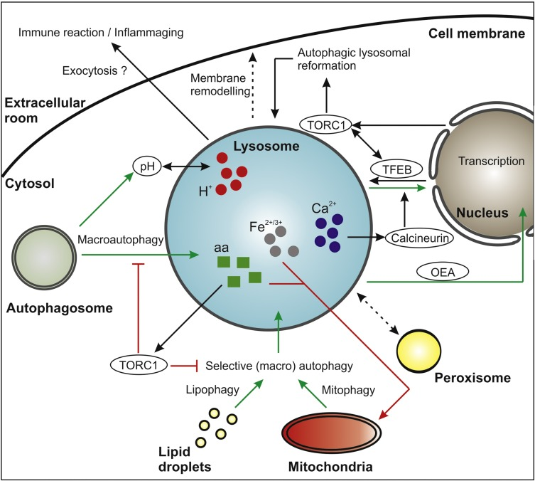 The Crucial Impact Of Lysosomes In Aging And Longevity Sciencedirect