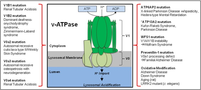 Disorders Of Lysosomal Acidificationthe Emerging Role Of V Atpase