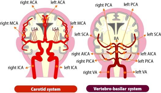 Cerebral Circulation In Aging Sciencedirect