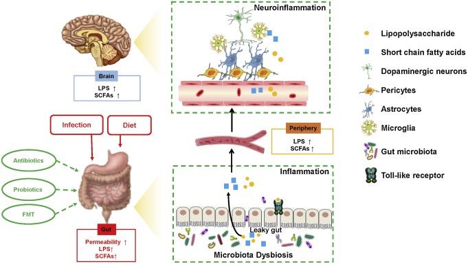 Diszbiózis – Wikipédia - Dysbiosis bél mikrobiota