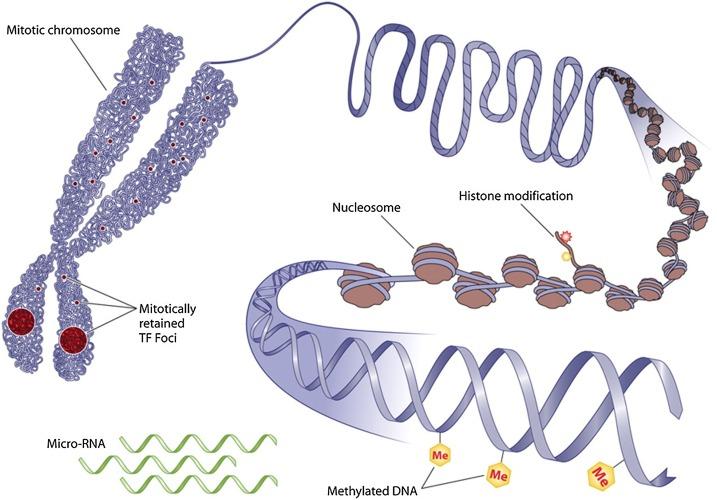 Developmental origins of type 2 diabetes: Focus on