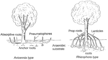 Pneumatophores An Overview Sciencedirect Topics
