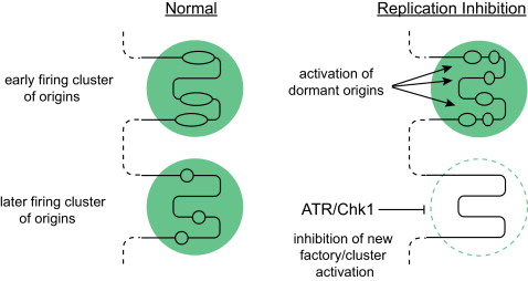 The contribution of dormant origins to genome stability: From cell