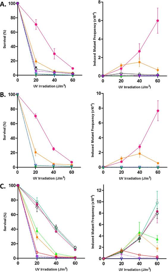 A novel variant of DNA polymerase ζ, Rev3ΔC, highlights