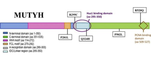 Distinct Functional Consequences Of Mutyh Variants Associated With Colorectal Cancer Damaged Dna Affinity Glycosylase Activity And Interaction With Pcna And Hus1 Sciencedirect