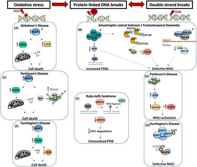 DNA repair and neurological disease: From molecular understanding to
