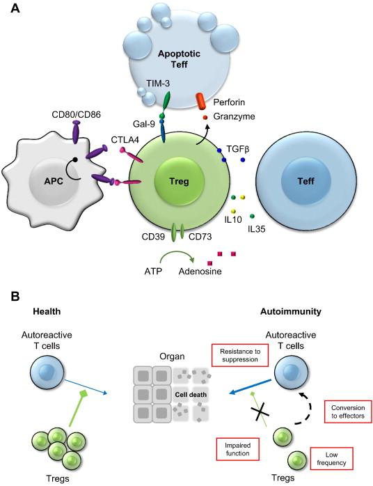 regulatory t cells in autoimmune diseases challenges controversies
