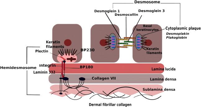 Oral mucosal manifestations of autoimmune skin diseases