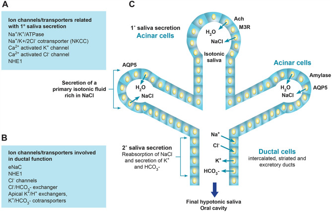 The imprint of salivary secretion in autoimmune disorders