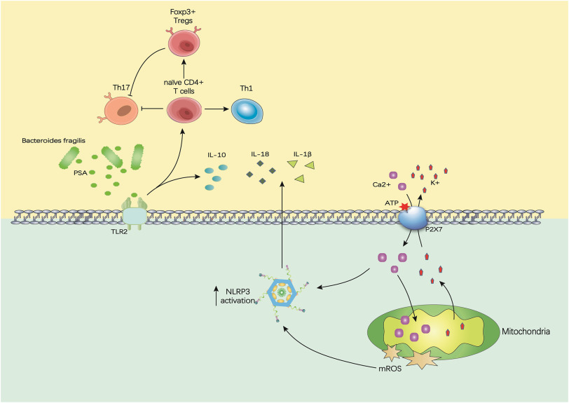 Microbe-metabolite-host axis, two-way action in the