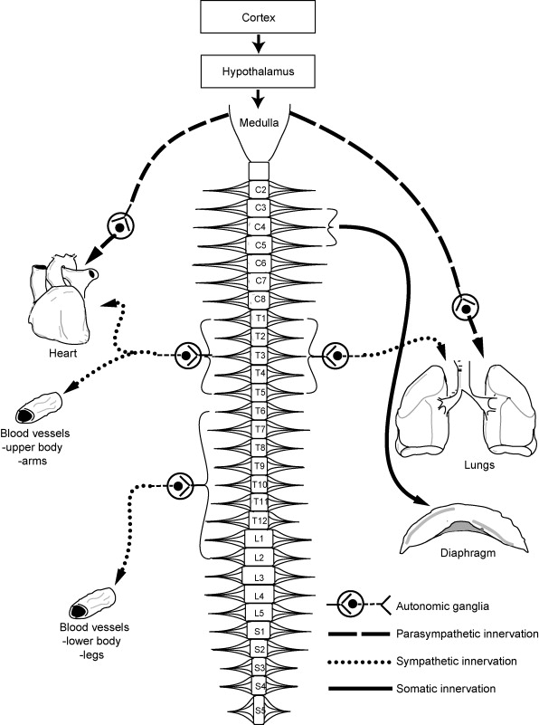 Autonomic Function Following Cervical Spinal Cord Injury