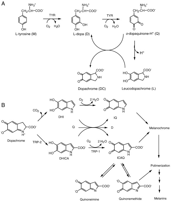 Generation Of Hydrogen Peroxide In The Melanin Biosynthesis Pathway