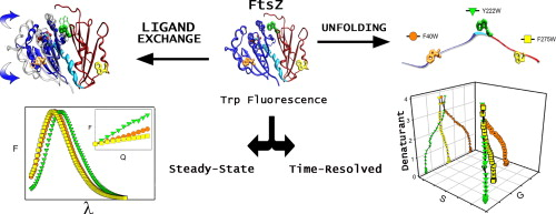 Single tryptophan mutants of ftsz nucleotide bindingexchange and graphical abstract ccuart Images