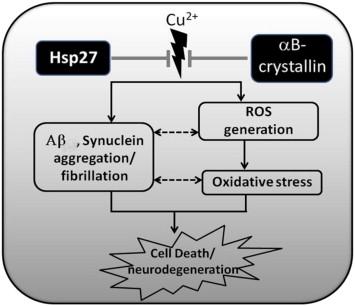 異常なCu2 +細胞におけるsHspの保護的役割の模式図