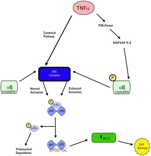 αBクリスタリンの細胞保護的役割の模式図
