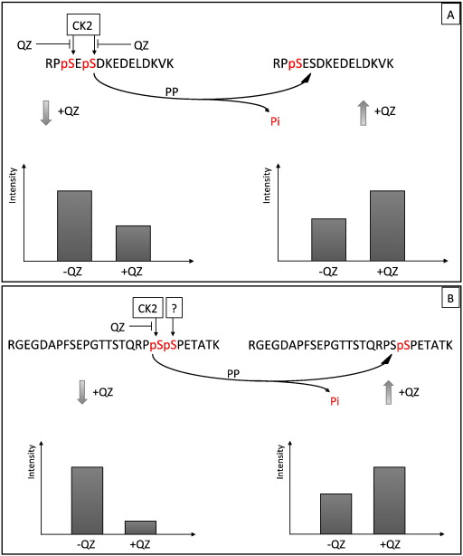 Proteomics perturbations promoted by the protein kinase CK2