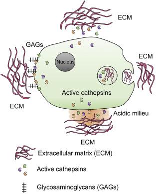 Cysteinyl Cathepsins In Cardiovascular Diseases Sciencedirect